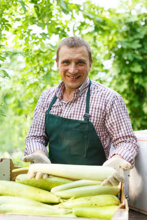 Male gardener in apron packing marrows to crates in garden