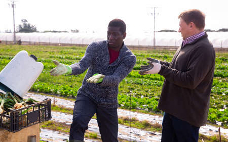 Men professional gardeners chatting during harvesting of lettuce