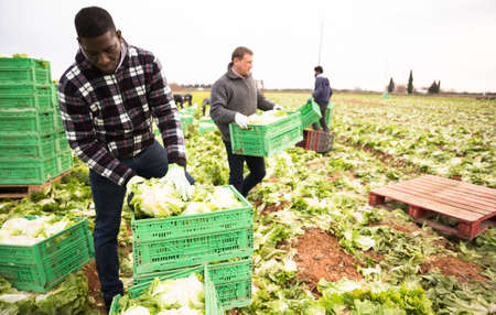 African american man working with crates of lettuce