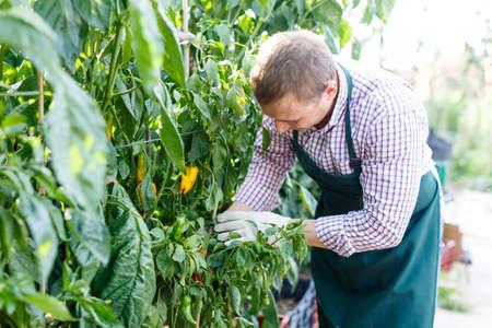 Worker examining pepper plants