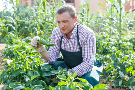 Male professional horticulturist looking harvest of peppers