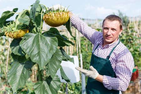 Farmer taking care of sunflower plants