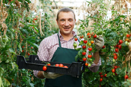 Worker gathering crop of cherry tomatoes