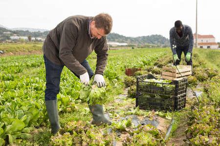 Farmer harvesting lettuce Stock fotó