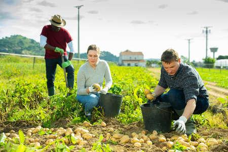 Farm workers harvesting potato Banque d'images