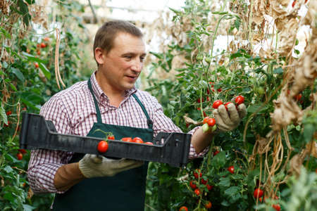 Man professional gardener picking tomatoes to crate in sunny hothouse