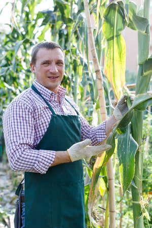 Farmer taking care of corn plants Archivio Fotografico