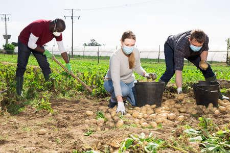 Gardeners in masks during harvesting of potatoes
