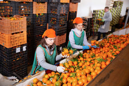 Group of male and female warehouse workers sorting ripe mandarins in fruit warehouse 写真素材