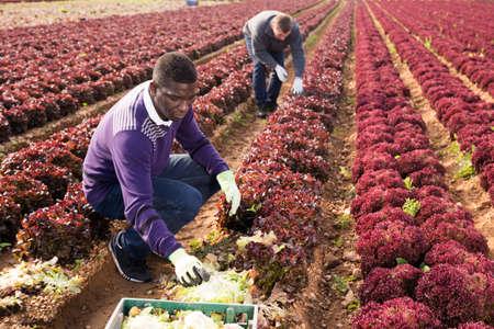 Men gardeners picking harvest of red lettuce to crates