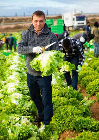 Men gardeners during harvesting of lettuce in garden Banque d'images
