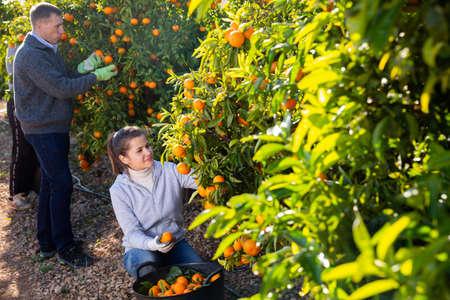 Couple of positive farmers picking carefully ripe mandarins on plantation