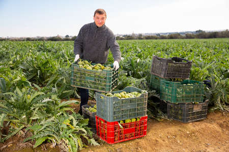 Man horticulturist holding crate with harvest of artichokes Archivio Fotografico