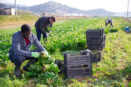 Men gardeners during harvestung of fresh spinach Archivio Fotografico