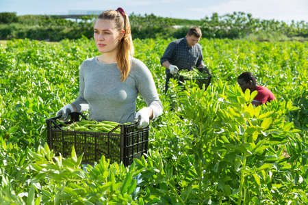 Team of workers harvests green beans Standard-Bild
