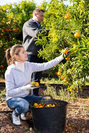 Farmers picking ripe mandarins Archivio Fotografico