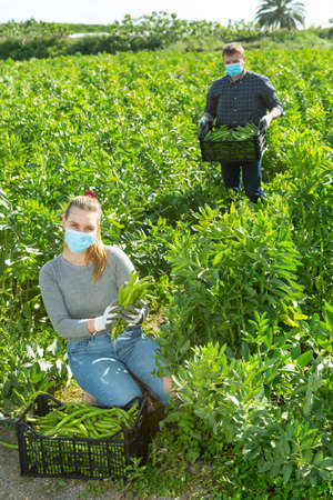 Two gardeners in protective medical masks picking harvest of beans