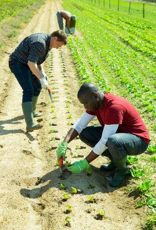 Farm workers planting lettuce seedlings