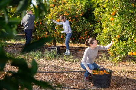 Man and two women picking tangerines Archivio Fotografico