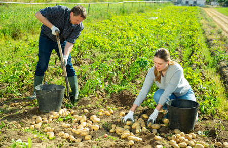Man is dripping potatoes by shovel, woman picking harvest