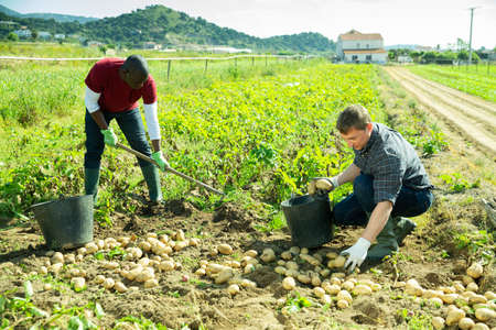 Men picking harvest to bucket in garden outdoor Archivio Fotografico