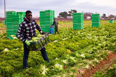 African american man gardener picking harvest of lettuce