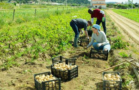 Gardeners sorting potatoes during harvesting outdoor