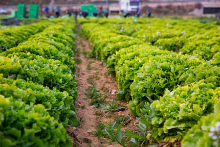 Smooth rows of lettuce on the field