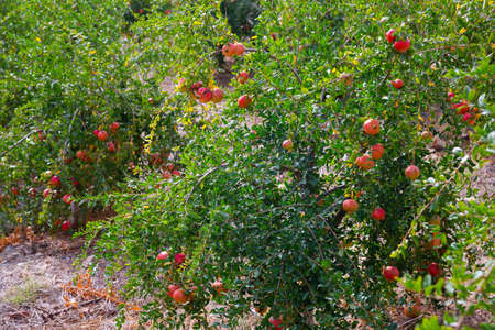 Pomegranate trees with ripe fruits growing in orchard