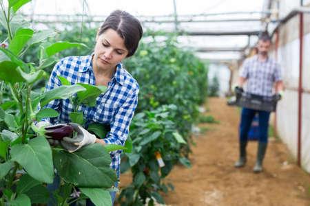 Positive woman harvesting fresh eggplants in greenhouse Stock Photo