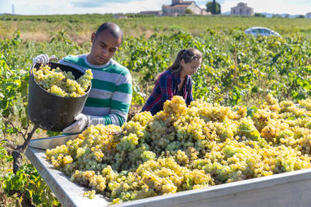 Man and female working with harvest in vineyard, picking bunches of grapes