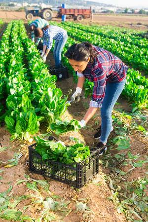 Latino female worker picking chard on field