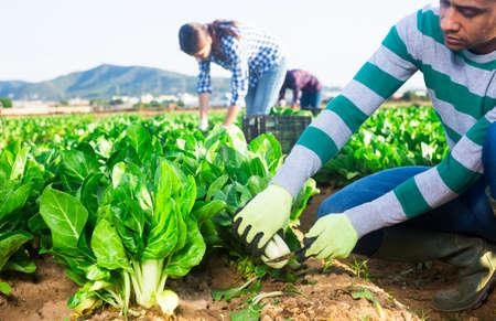 Process of picking chard on farm field