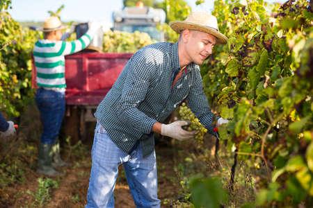 Farmer harvesting ripe white grapes in vineyard