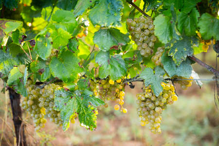 White grapes growing on vine in vineyard