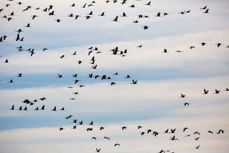 Migration of flock of cranes in the sky