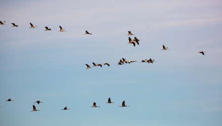 Migration of flock of cranes in the sky