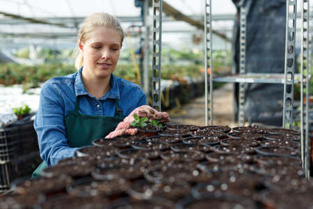 Positive young woman gardener seeding peppermint seedlings in pot at greenhouse