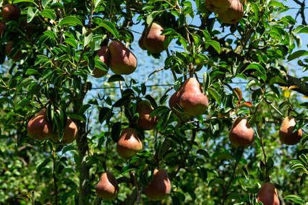 Ripe pears on tree Stock fotó