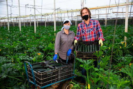 farmers cultivating courgettes in hothouse during coronavirus Standard-Bild