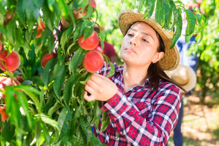 Woman harvesting ripe peaches in his orchard on sunny day