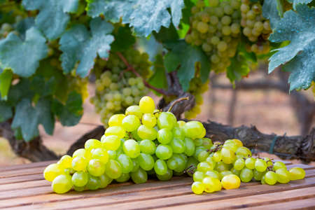 White grapes on wooden table on background with green vine