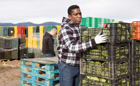 Focused African American farm worker arranging boxes with freshly harvested artichokes on plantation
