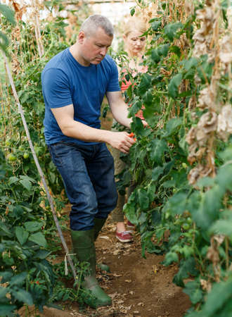 Farmer with wife pruning tomato plants Stockfoto