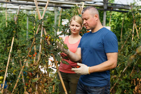Two workers checking tomato plants
