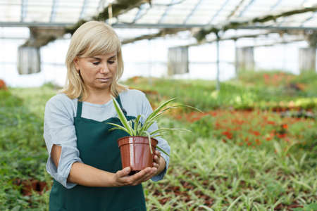 Mature female gardener working with plant of cinta in pots in greenhouse