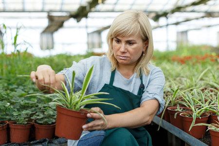 Female gardener with scissors trimming plants of cinta in greenhouse Imagens