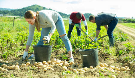 People gathering crop of potatoes