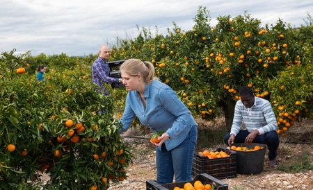 Woman farmer harvesting mandarins