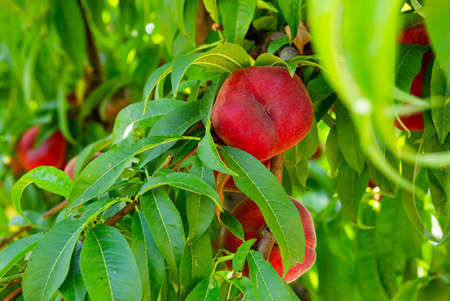 Ripe flat peaches growing on tree branches